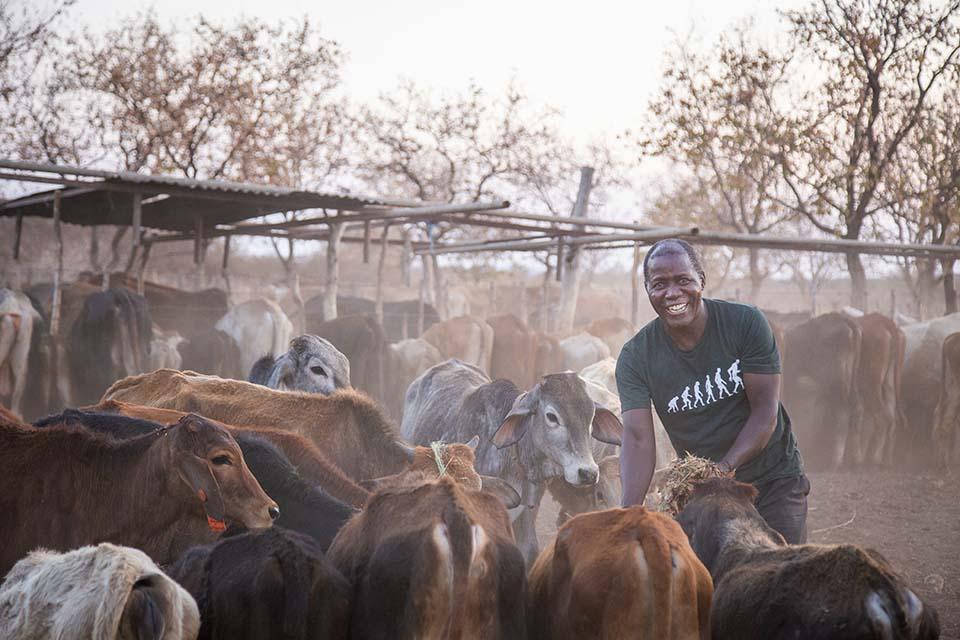 tending cattle in Zimbabwe