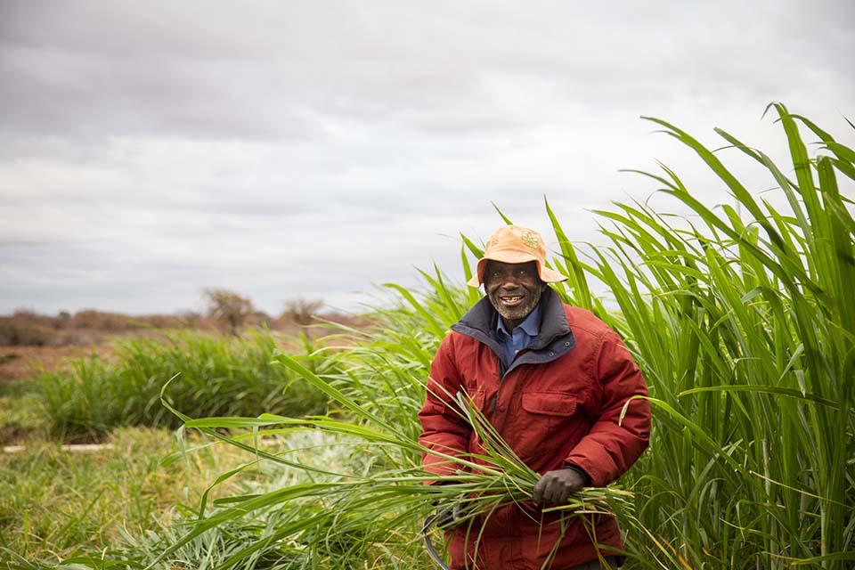 Zimbabwe fodder harvest