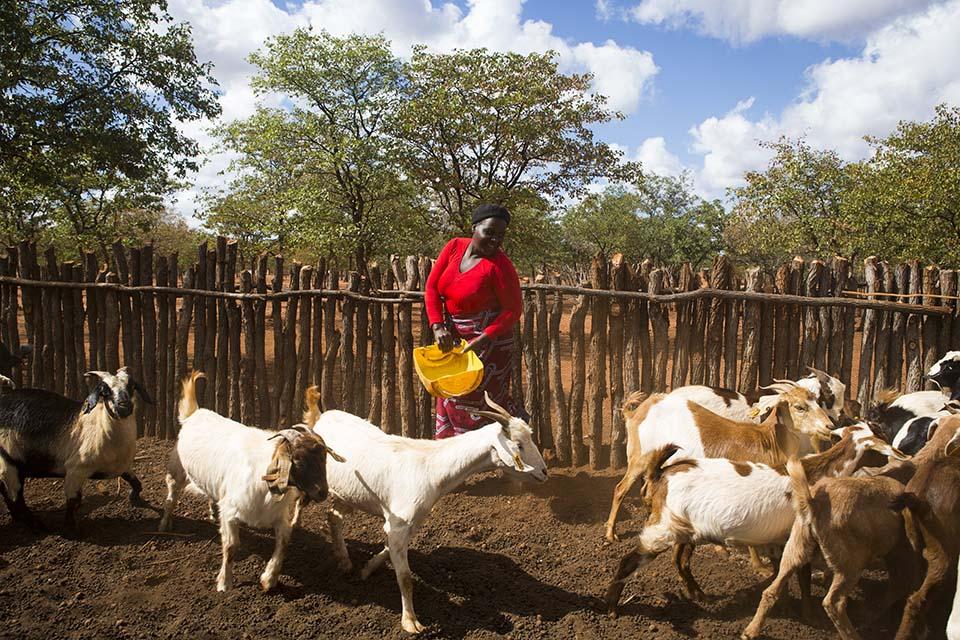 Zimbabwe goat herd