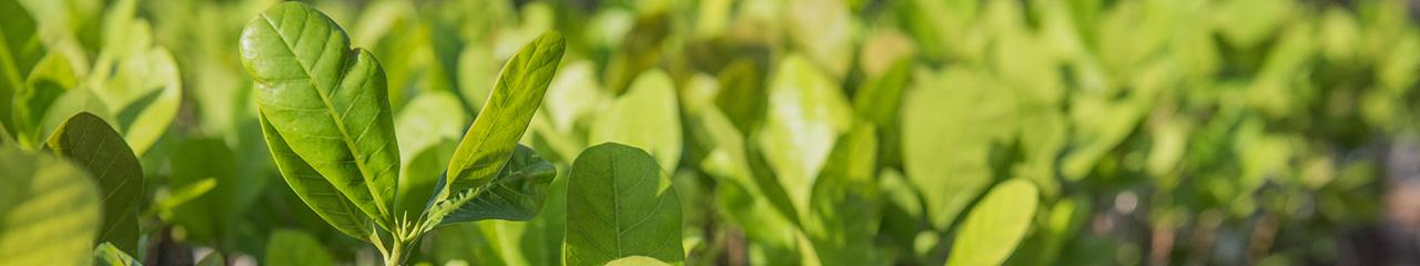 seedlings in Benin