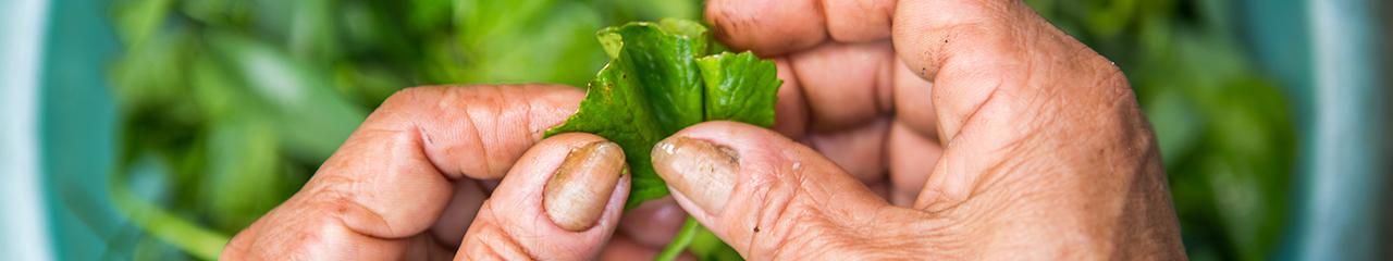 cleaning vegetables Vietnam