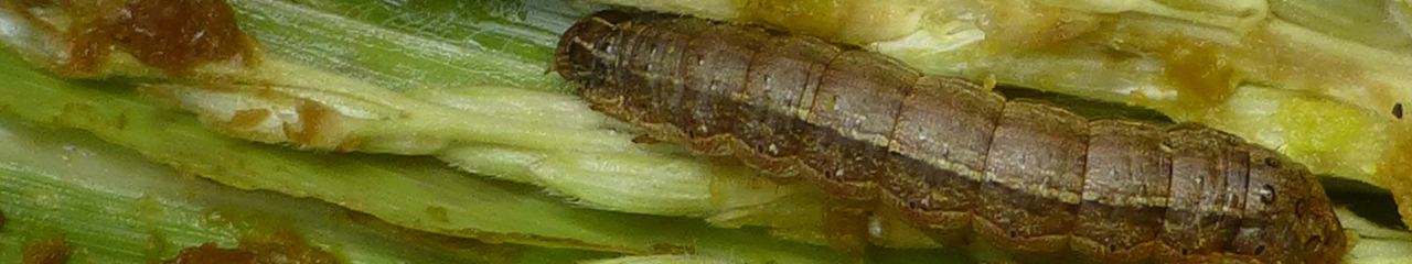 fall armyworm on leaf