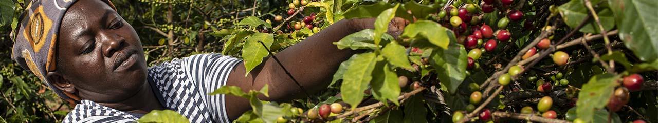 Kenya coffee harvest