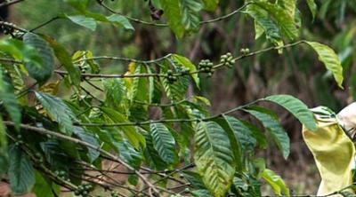 Uganda widows grow coffee