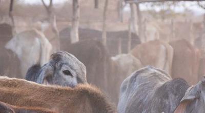 Zimbabwe cattleman