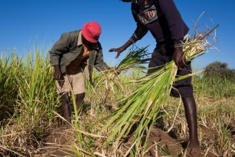 This group in Tshapfuche Village has planted bana grass, which is drought resistant. The grass could also become an additional income source if the group has a surplus and sells it to other farmers. Photo by Elie Gardner for CRS