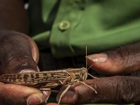 hands holding a locust in Kenya