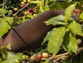Kenya coffee harvest