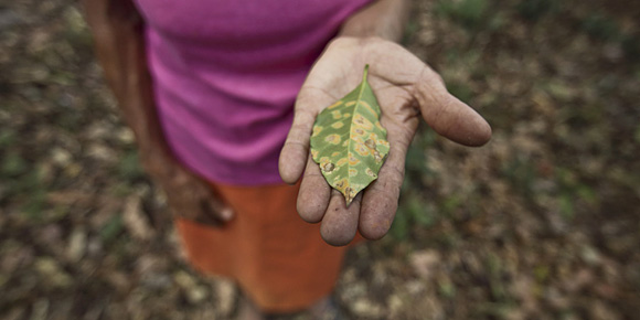 Teresa de Jesús Recinos of El Salvador shows her coffee crops ruined by leaf rust. Photo by Silverlight for CRS
